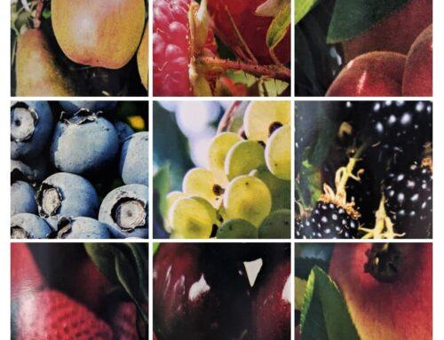 Fruit Wine Making Guide, Part Two: Preparing Fruit for Fermentation
